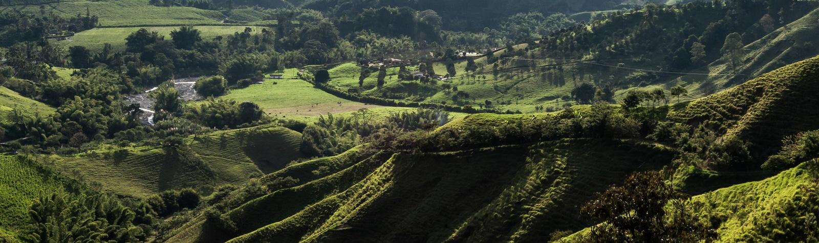forest coffe farm colombia manizales green