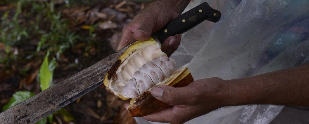 Cacao Quindio