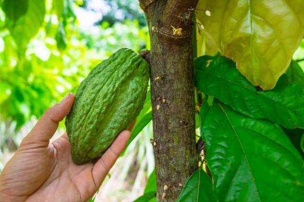 FOLU Cacao
